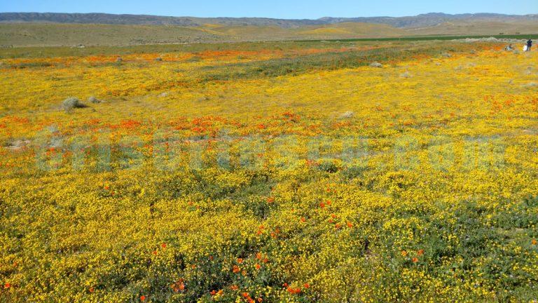 yellow-and-orange-wildflowers-impressionist-photography-print