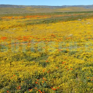 yellow-and-orange-wildflowers-impressionist-photography-print