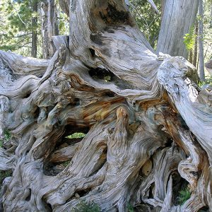 Roots_in_Squaw_Valley